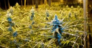 Greenway-Maryland-Medical-Marijuana-Plant-at-Cumberland